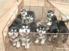 曲靖陆良县买阿拉斯加 云南狗场常年出售阿拉斯加